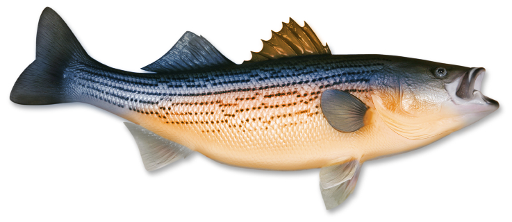 Bass Fish Colorized Cropped